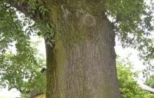 dąb Bartek pomnik przyrody w Rzepienniku Suchym (1)