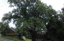 dąb Bartek pomnik przyrody w Rzepienniku Suchym (3)