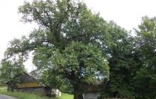 dąb Bartek pomnik przyrody w Rzepienniku Suchym (4)